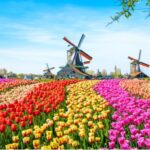 A photo showing a landscape of Dutch tulips with windmills in the background.
