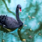 A photo showing a black swan swimming on a lake of blue-green water.