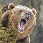 A photo of a roaring grizzly bear.