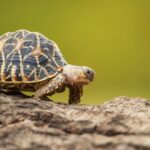 A photo showing an Indian star tortoise walking along a dirt path.