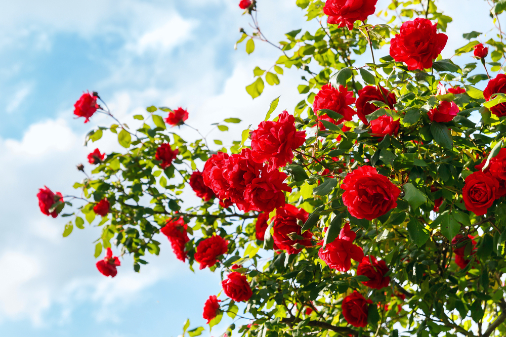A photo of a large bush of red garden roses against a blue sky.