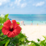 A hibiscus blooms on a beach in Okinawa, Japan