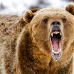 A photo of a roaring grizzly bear