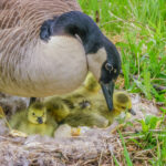 A photo of a mother goose sitting on a nest protecting her newly hatched goslings.